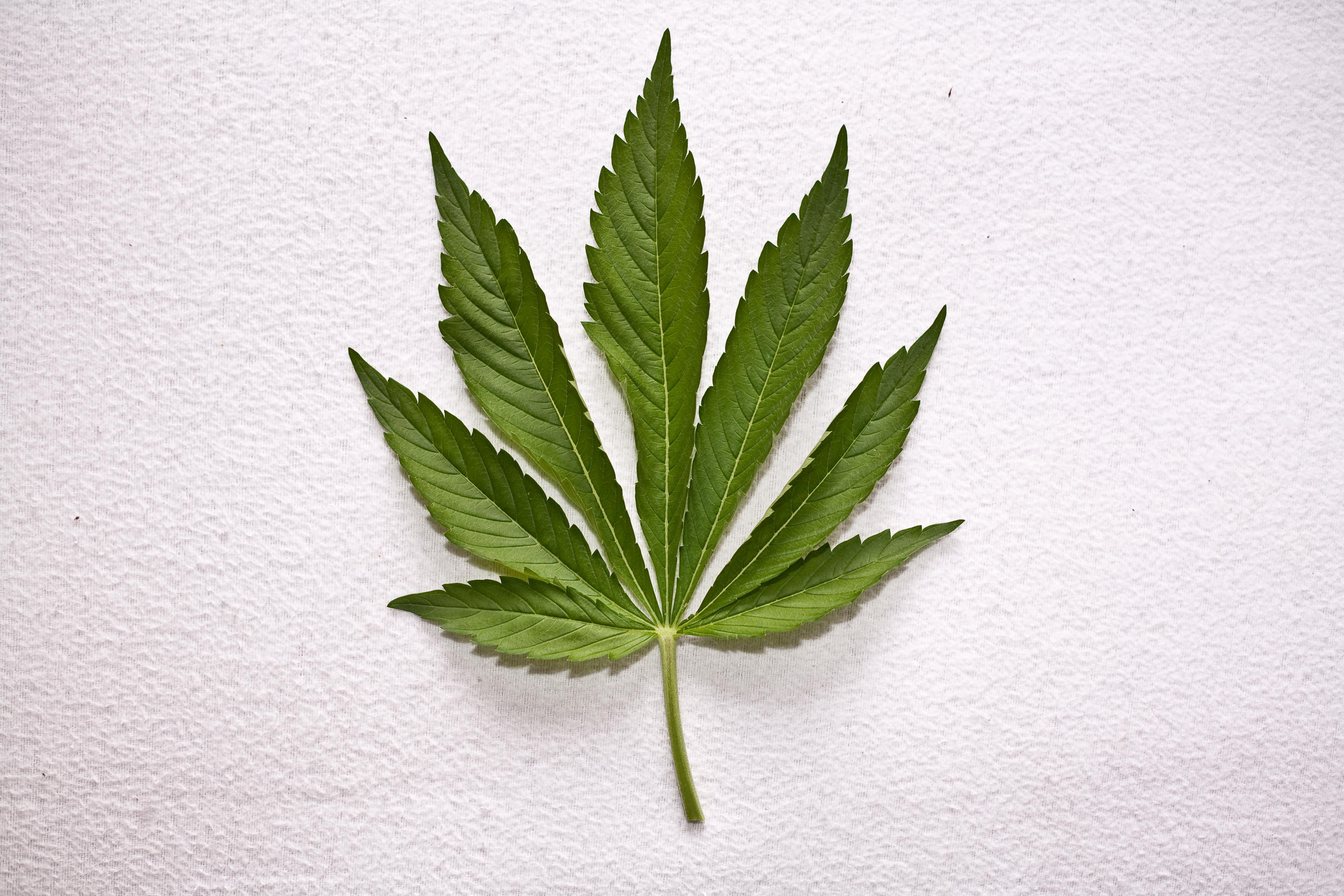 Colitas plant